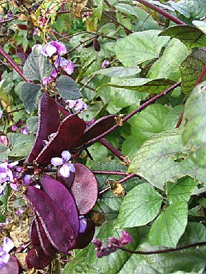 Purple_hyacinth_bean_2